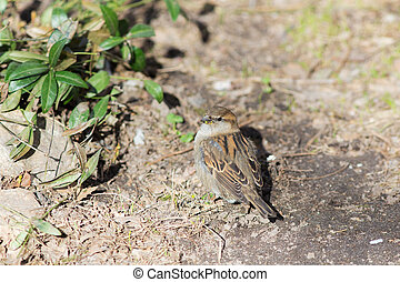 The sparrow eats green leaves
