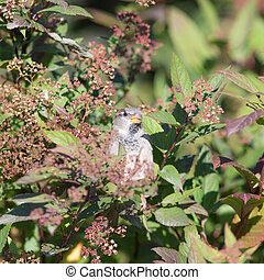 sparrow hides in the branches