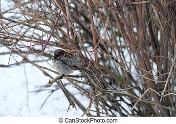 The Sparrow on the branches