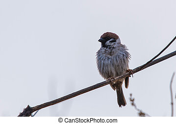 The sparrow sits on a branch and straightened feathers