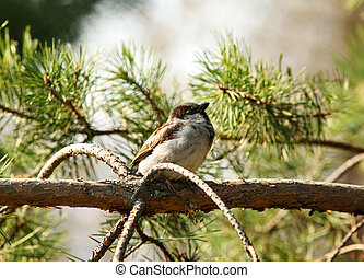 sparrow - The sparrow sits on a branch of a tree with ...