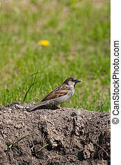 the sparrow sits on the ground