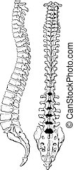 The spinal column of human body, vintage engraving.