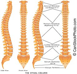 The Spinal Column. The Spinal Column Diagram. Human spine...