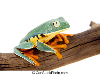 The splendid leaf frog on white - The splendid leaf frog,...