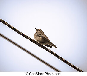 the Spotted flycatcher (Muscicapa striata)