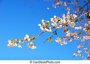 spring blooming sakura cherry flowers
