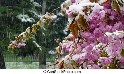 The spring tree is covered with purple flowers and snow -...