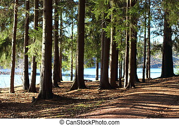 the spruce forest near the lake - The trail in the spruce...