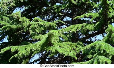 The Spruce tree on a sunny day - Spruce tree on a sunny day