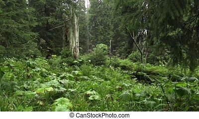 The spruce virgin forests in the NPR Praded - The spruces...