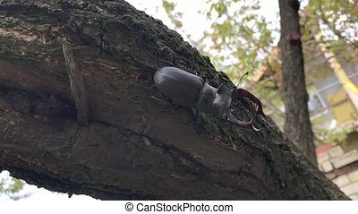 The Stag Beetle (Lucanus Cervus, Deer Beetle) crawls down the tree trunk, clinging to the bark with its paws