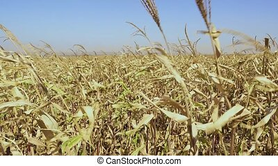 The stalks of ripe corn sway in the wind