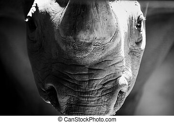 A rhino staring down the cameraman.