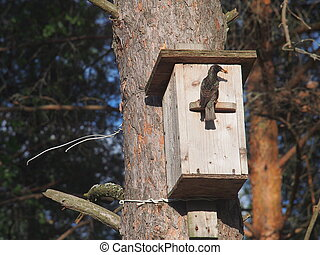 The Starling carries food to the Chicks in the birdhouse.