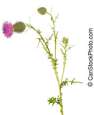 The stem thistle bud and blossoming flower isolated on white.