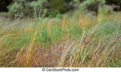 The steppe feather grass waving on the edge of the forest