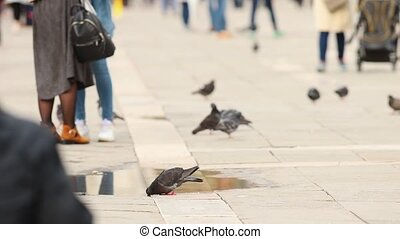 The streets of Venice, a crowd of people walking o the square - Piggeon drink water