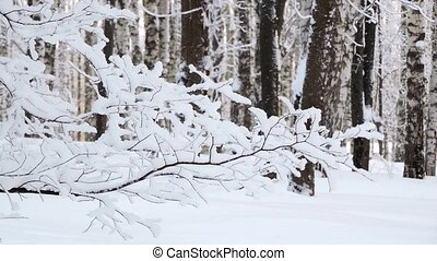 The strong snowfall in the forest. Branches covered with snow sway in the wind