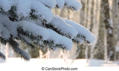 The strong snowfall in winter. Fir branches covered with...