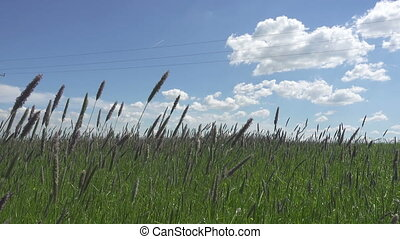 The strong wind inclines Timothy-grass Phleum pratense in...
