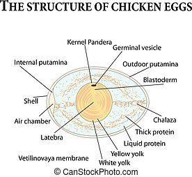The structure of chicken eggs