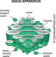 The structure of the Golgi apparatus. Infographics. Vector...