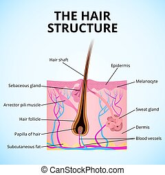 The structure of the hair - an illustration of the structure...