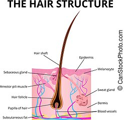The structure of the hair