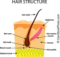 The structure of the hair. Infographics. Vector illustration on isolated background
