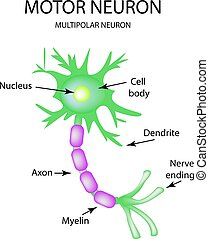 The structure of the motor neuron. Infographics. Vector illustration on isolated background