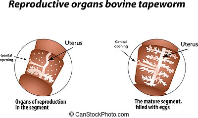 The structure of the reproductive organs of bovine tapeworm. Infographics. Vector illustration on isolated background.