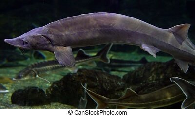 the sturgeon fish swim in water
