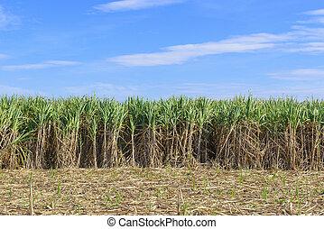 The sugarcane fields