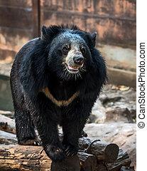 The sun bear. - Malayan sun bear, Honey bear.