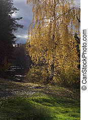 The sun illuminates the yellowed leaves on the birch tree, standing on the shore of the forest lake