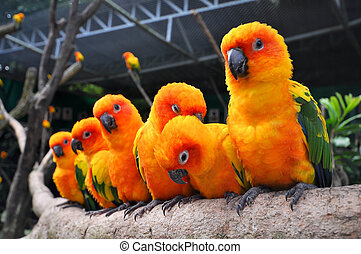 The Sun Parakeet or Sun Conure is a medium-sized brightly colored parrot native to northeastern South America.