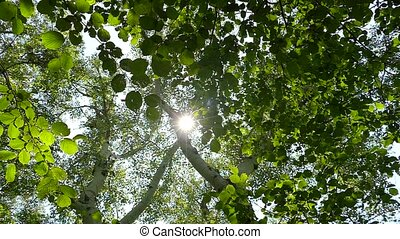the sun passes through the crowns of trees