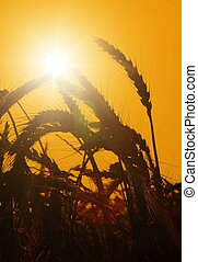 The sun rises over a wheat field