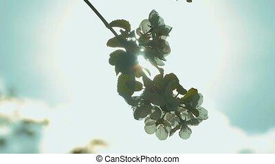 the sun shines apple tree twig slow motion video - the sun...