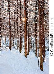 The sun shines through pine trunks