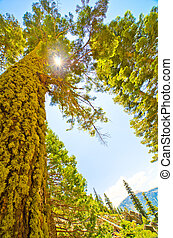The sun shines through the canopy of a pine tree - at...
