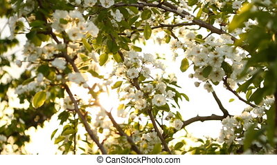 the sun shines through the flowering pear tree