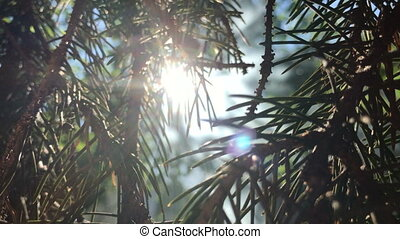 the sun shines through the Green FIR twigs close-up