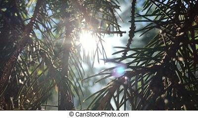 the sun shines through the Green FIR twigs