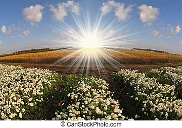 The sun shines white flowers