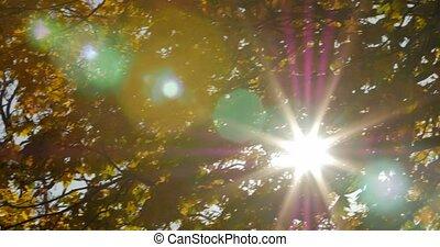 The sun shining through autumn maple leaves.