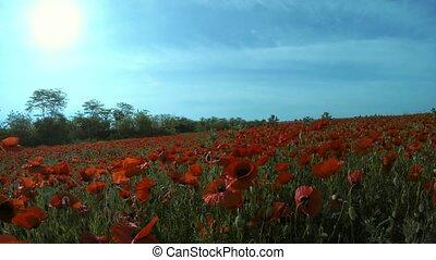 The sun through the clouds shines on the field with red flowers