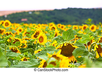 The sunflower field