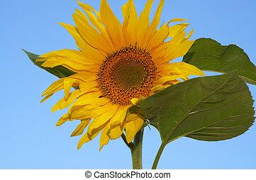 the sunflower - sunflower